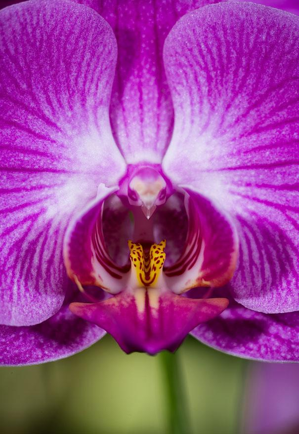 flowers-look-like-animals-people-monkeys-orchids-pareidolia-11
