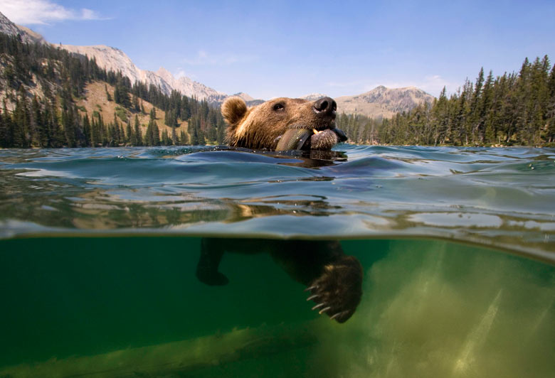 A-grizzly-bear-catches-a--004