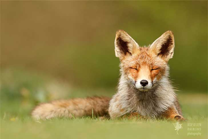 zen-foxes-roeselien-raimond-15__880