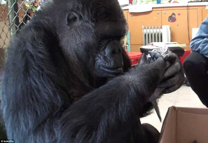 2D6FE23F00000578-3273726-Despite_her_huge_hands_being_the_size_of_the_kitten_the_gorilla_-m-15_1444907624767