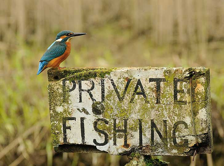 perfect-kingfisher-dive-photo-wildlife-photography-alan-mcfayden-10