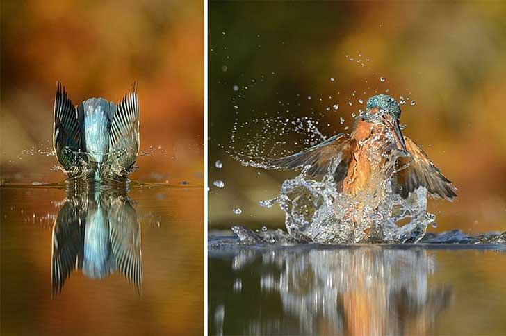 perfect-kingfisher-dive-photo-wildlife-photography-alan-mcfayden-35