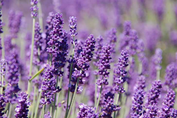 Lavender-Posts-Pic