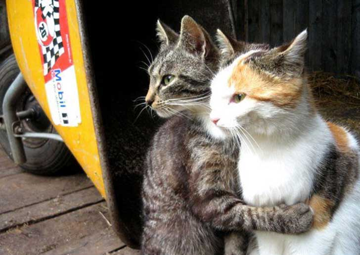 cat-couples-valentines-day-17__605