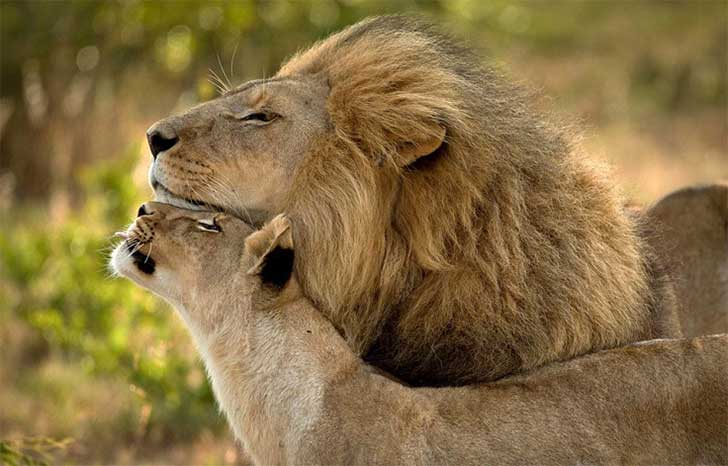 lions-in-love1