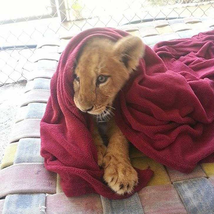 rescued-african-lion-sleeping-with-blanket-fb