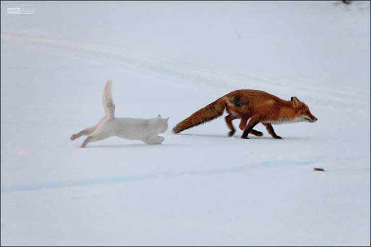 inside-cat-chases-fox