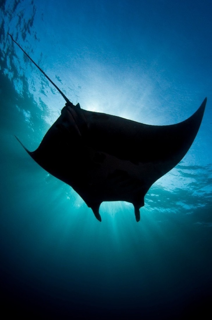 Archipielago de Revillagigedo: Giant manta ray