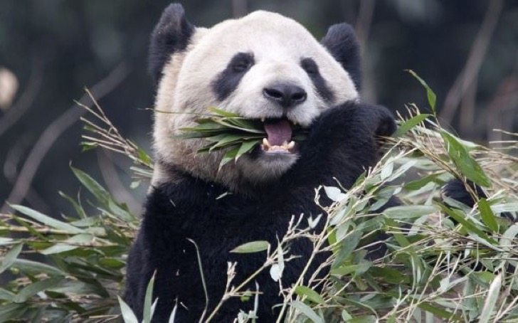 Panda Er Shun eats bamboo at the Panda House at the Chongqing Zoo in Chongqing, China, Saturday, Feb. 11, 2012. Two giant pandas including Er Shun will call Canada home for the next 10 years. (AP Photo/The Canadian Press, Adrian Wyld)