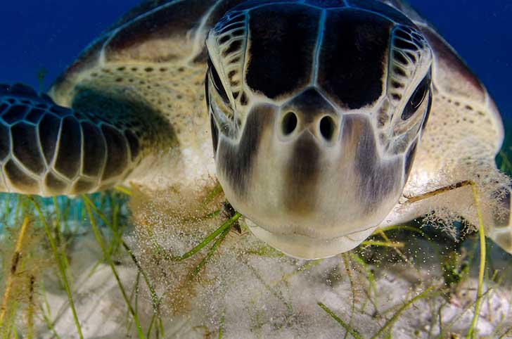 dive-buddy--luis-javier-sandoval-of-mexico-documented-the-endangered-green-turtle-on-the-beaches-of-the-yucatan-peninsula-near-cancn