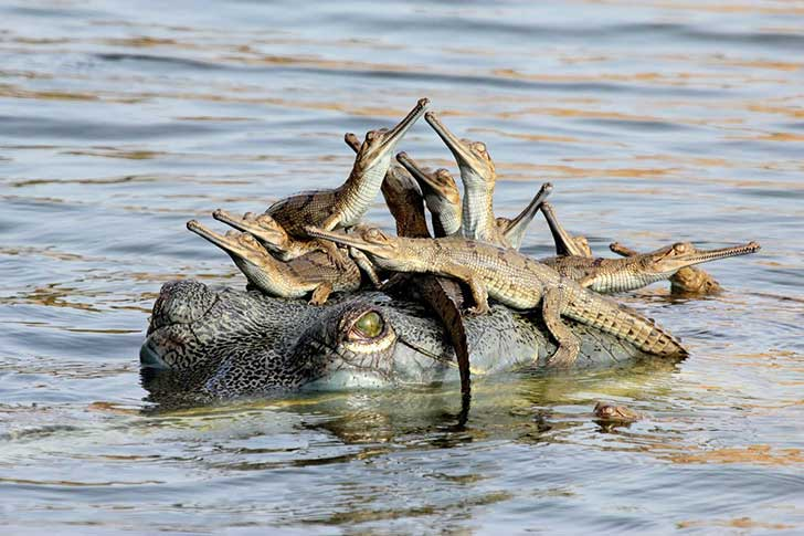 mothers-little-headful--udayan-rao-pawar-14-from-india-photographed-a-female-gharial-crocodile-in-the-chambal-river-while-balancing-several-hatchlings-on-her-head