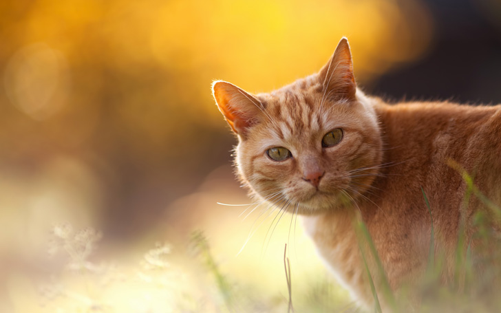Animals___Cats_Red_Cat_on_an_orange_background_044688_