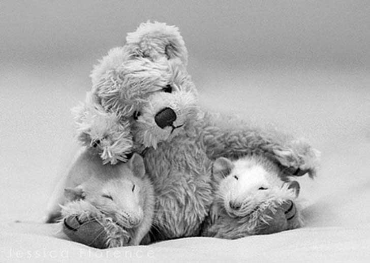 Black-white-rats-teddy-JF