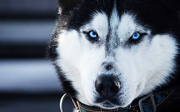black-and-white-husky-puppy-with-blue-eyes-top-9-plants-commonly-found-in-deserts-listovative