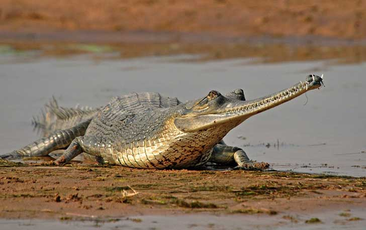 Gharials-Chambal-River-1024x644