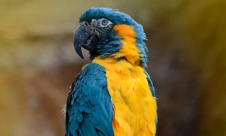 blue-throated-macaw