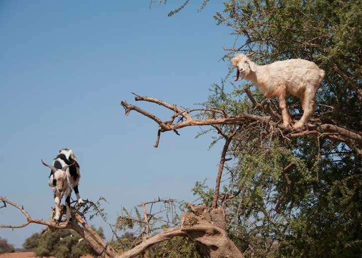 150821517-this-photo-taken-on-august-26-shows-goats-climbing-up.jpg.CROP.promo-large2