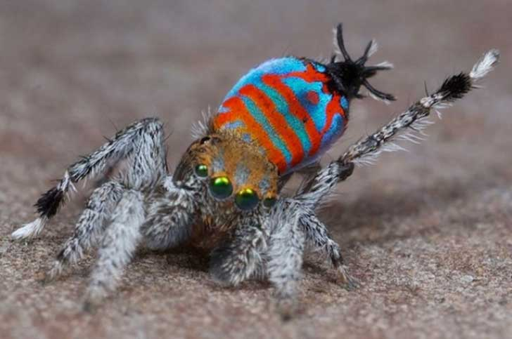 TOP-peacock-spider