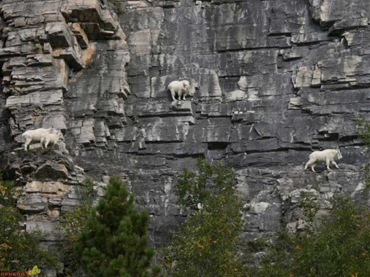 Goat-in-a-precarious-position-07