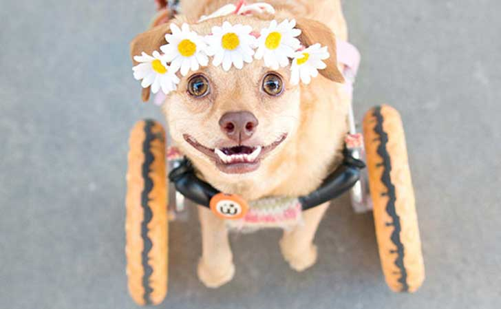 adopted-disabled-dog-daisy-underbite-unite-3