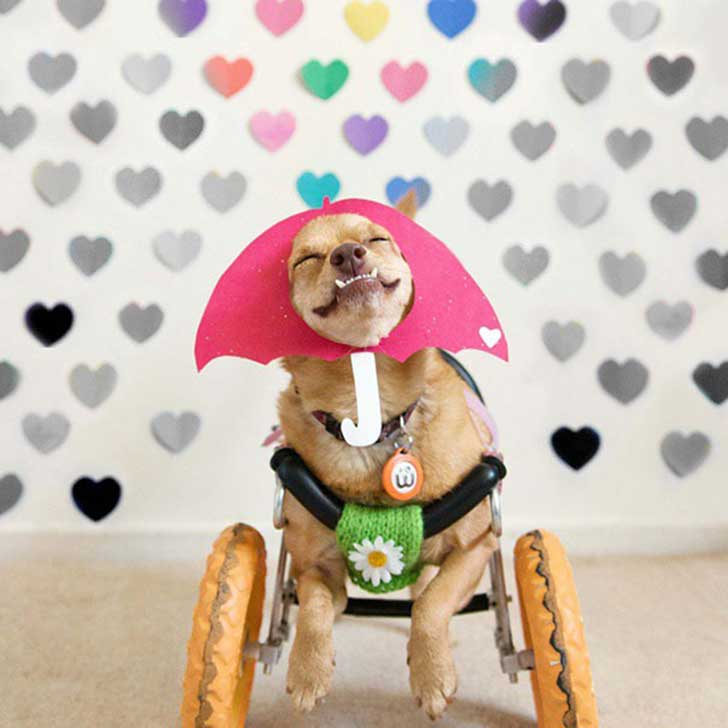 adopted-disabled-dog-daisy-underbite-unite-9