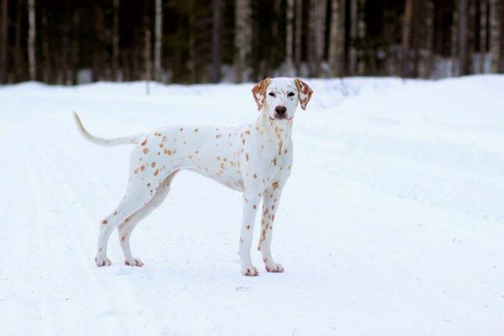 dog-coat-markings-33