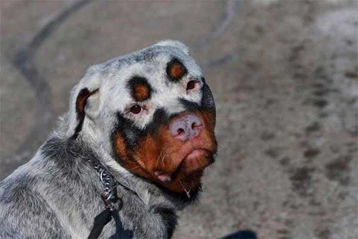 dog-coat-markings-8