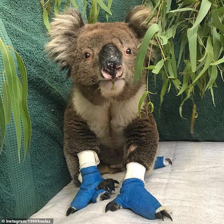 Image result for fallecio billy koala australia