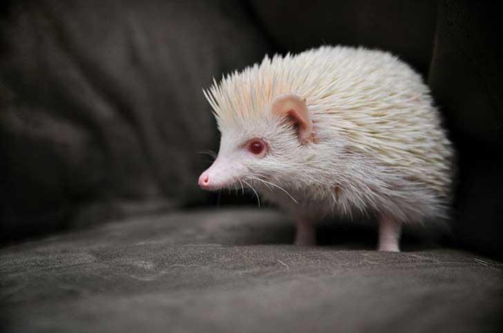 erizo-albino