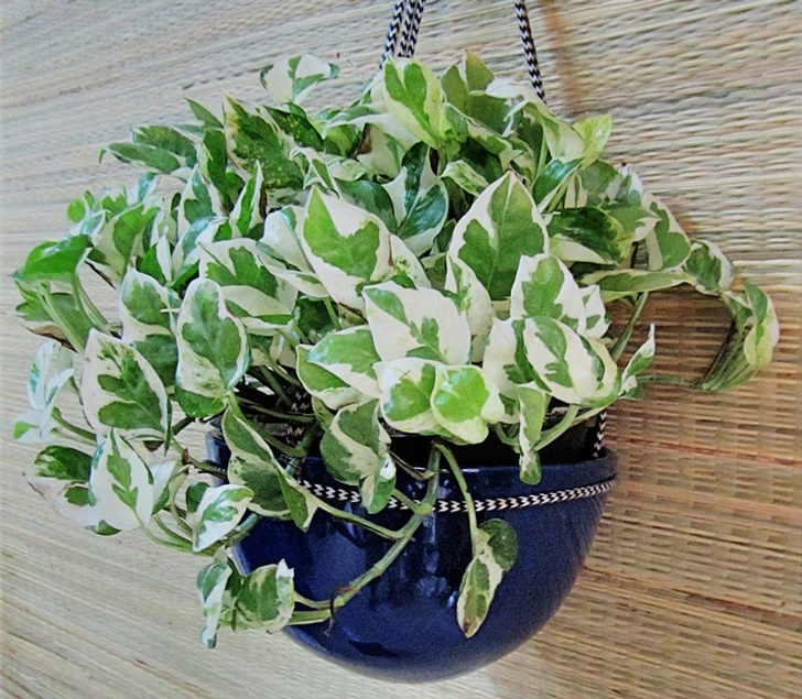 Pothos-in-Blue-Dome-hanging.jpg-4_edited