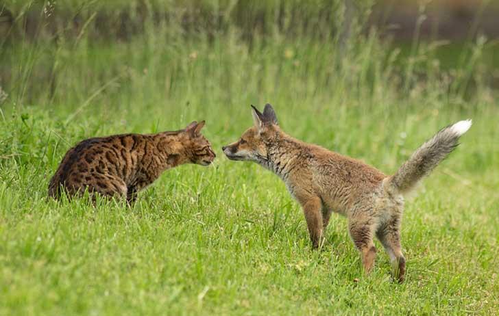 orphaned-fox-cub-adopted-dog-ziva-dinozzo-germany-13